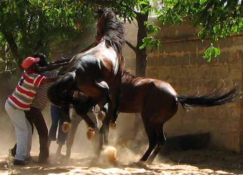 Horse Talk: Horse Breeding in Niger
