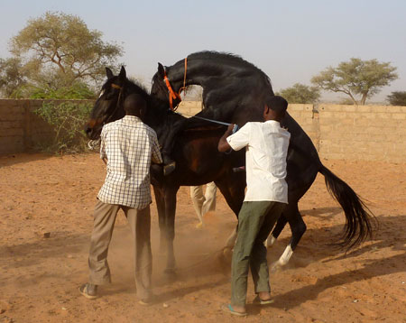 Horse Talk: Horse Breeding in Niger Esther Garvi: Niger, West